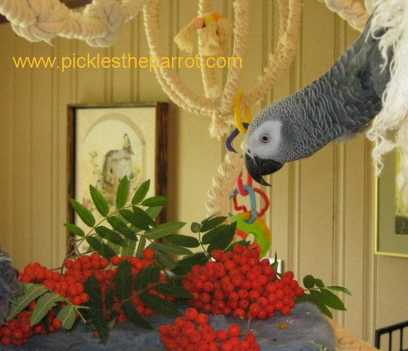 Pickles Parrot African Grey Pictures